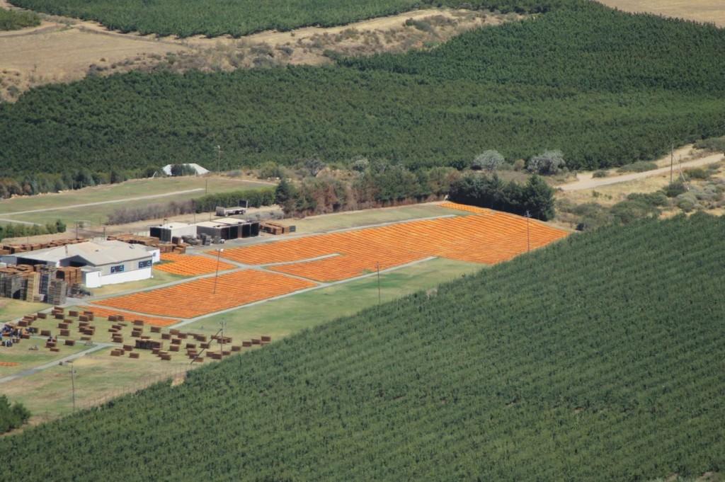 Millionen Aprikosen beim Sonnenbad