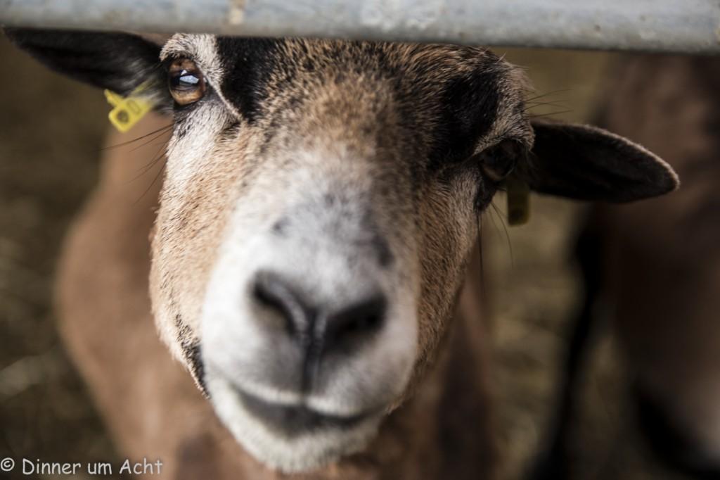 Kamerun Schafe (1 von 1)